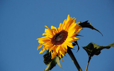 Beautiful Sunflower Widescreen HD Wallpaper 10